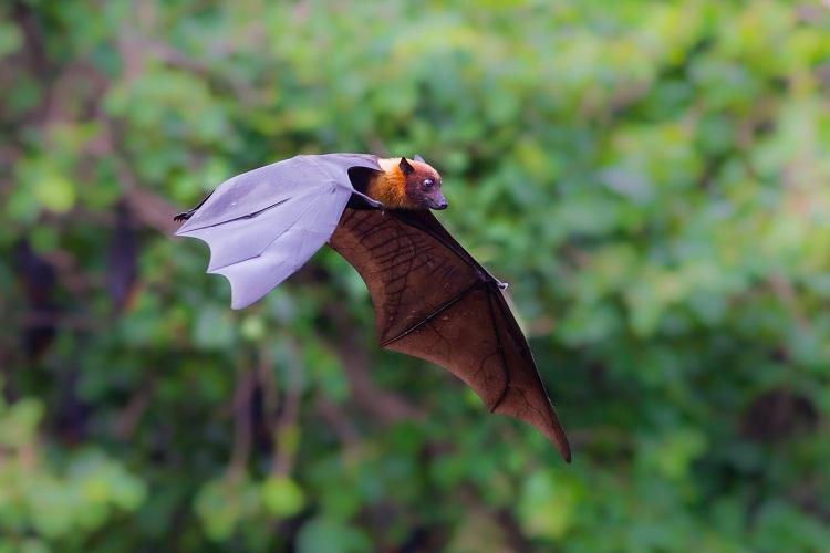 Flying Lyle's flying fox (Pteropus lylei)